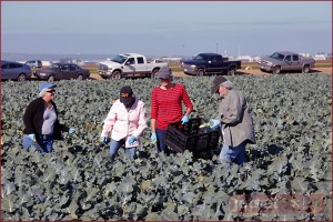 Harvesting broccoli for Ag Against Hunger