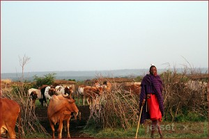 Masai Man with his cattle in the Mara