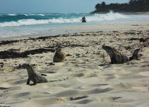 Xcacel iguanas