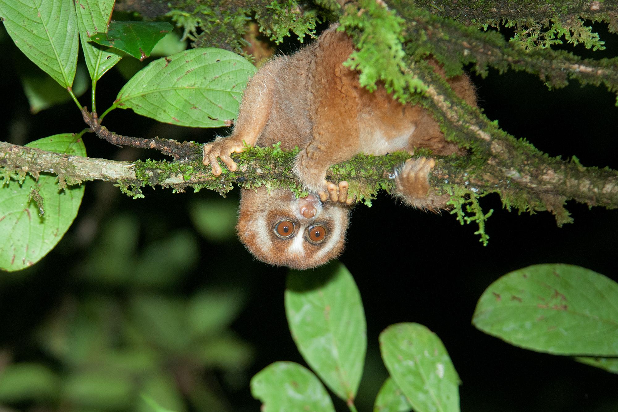 Slow Loris at night on Kinabatangan River in Borneo