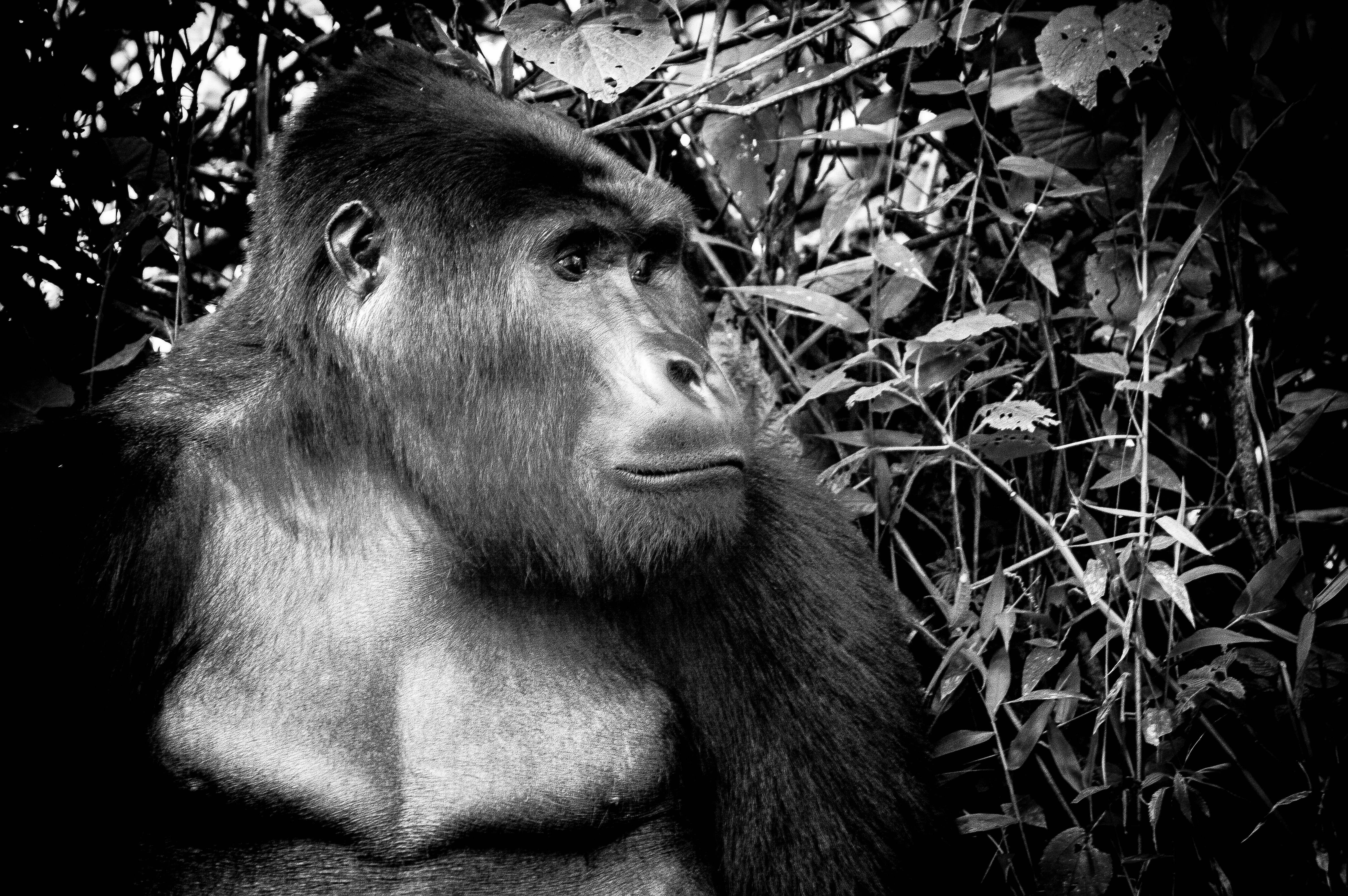 The Gentle Giant in Uganda