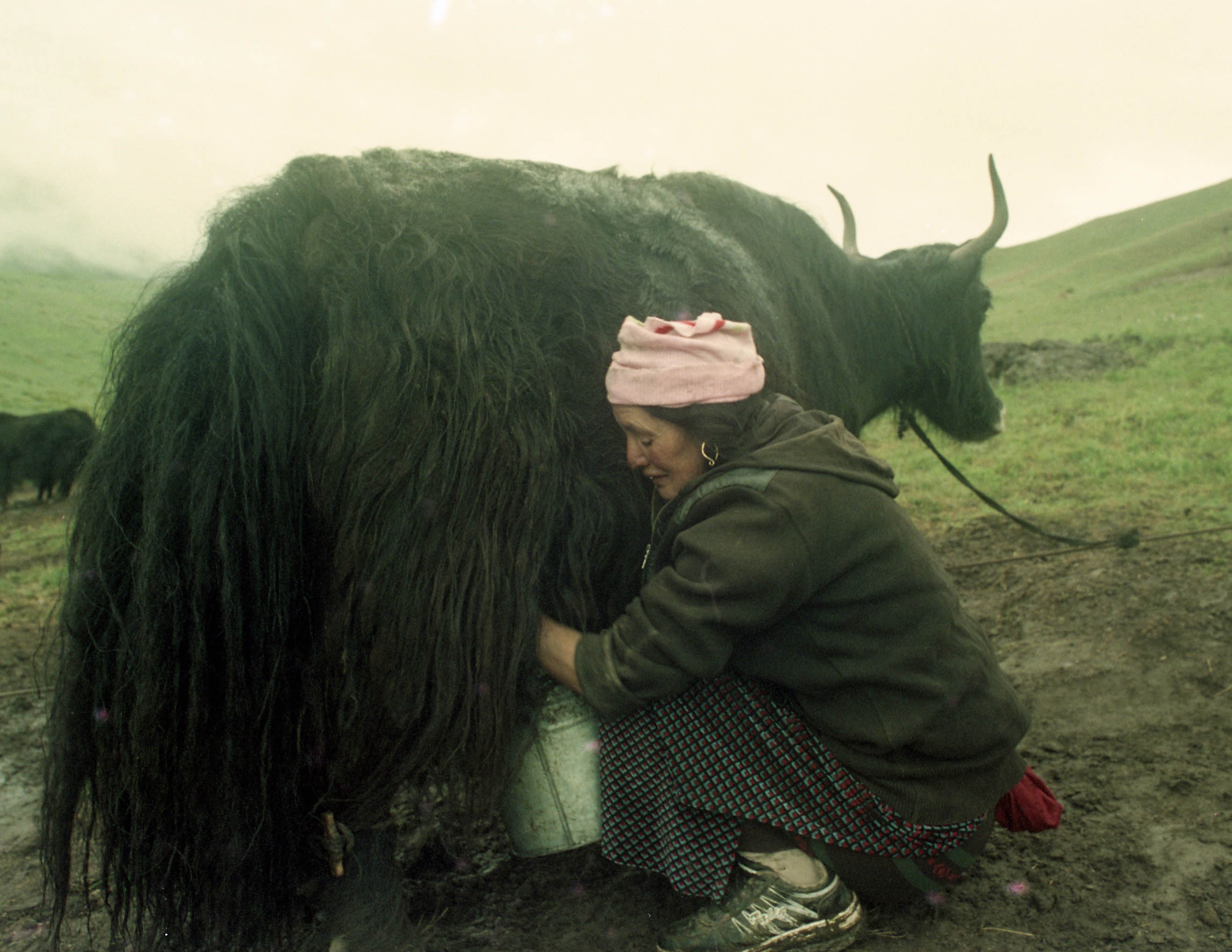 Dris not Yaks in Tibet