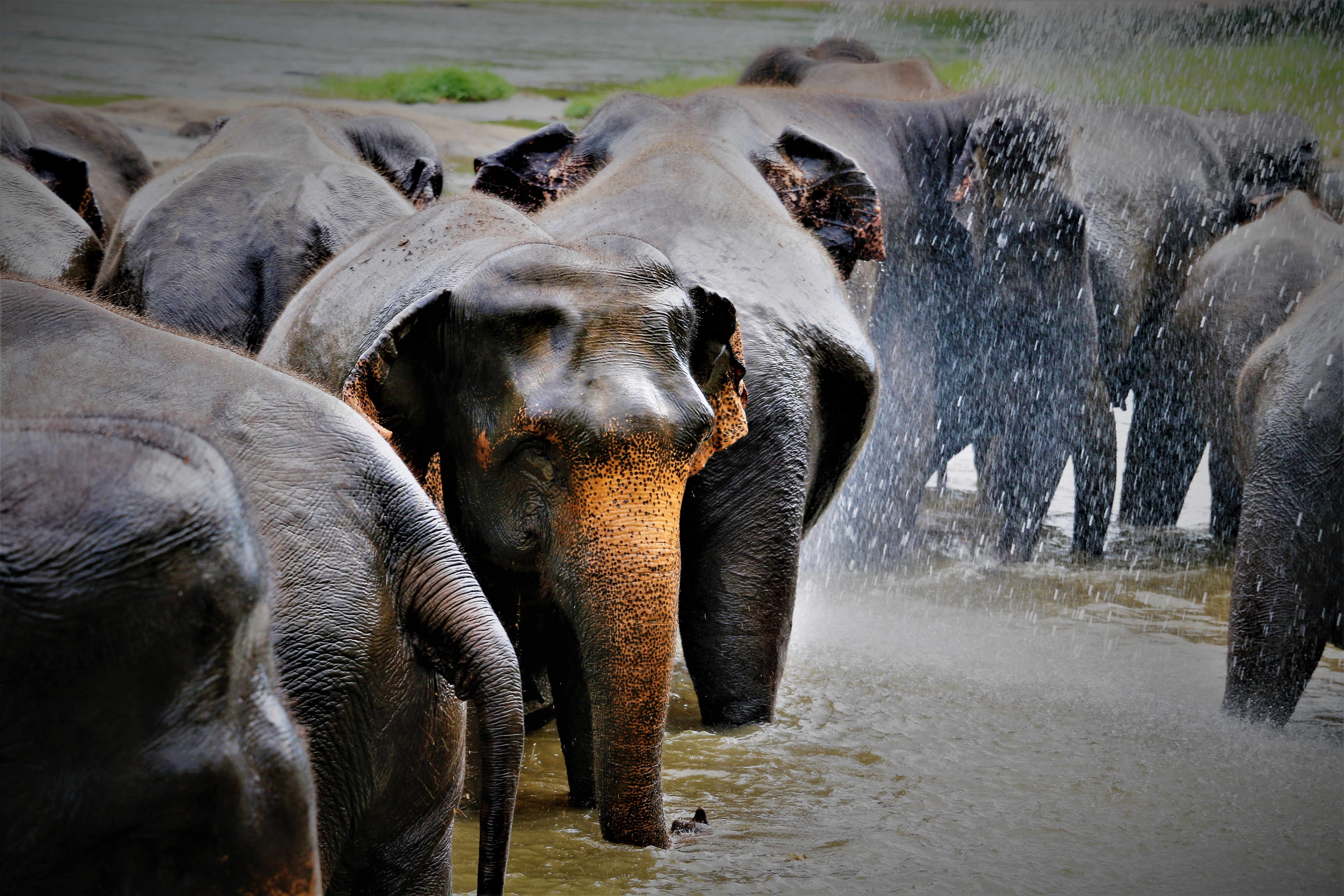 The Herd in Sri Lanka