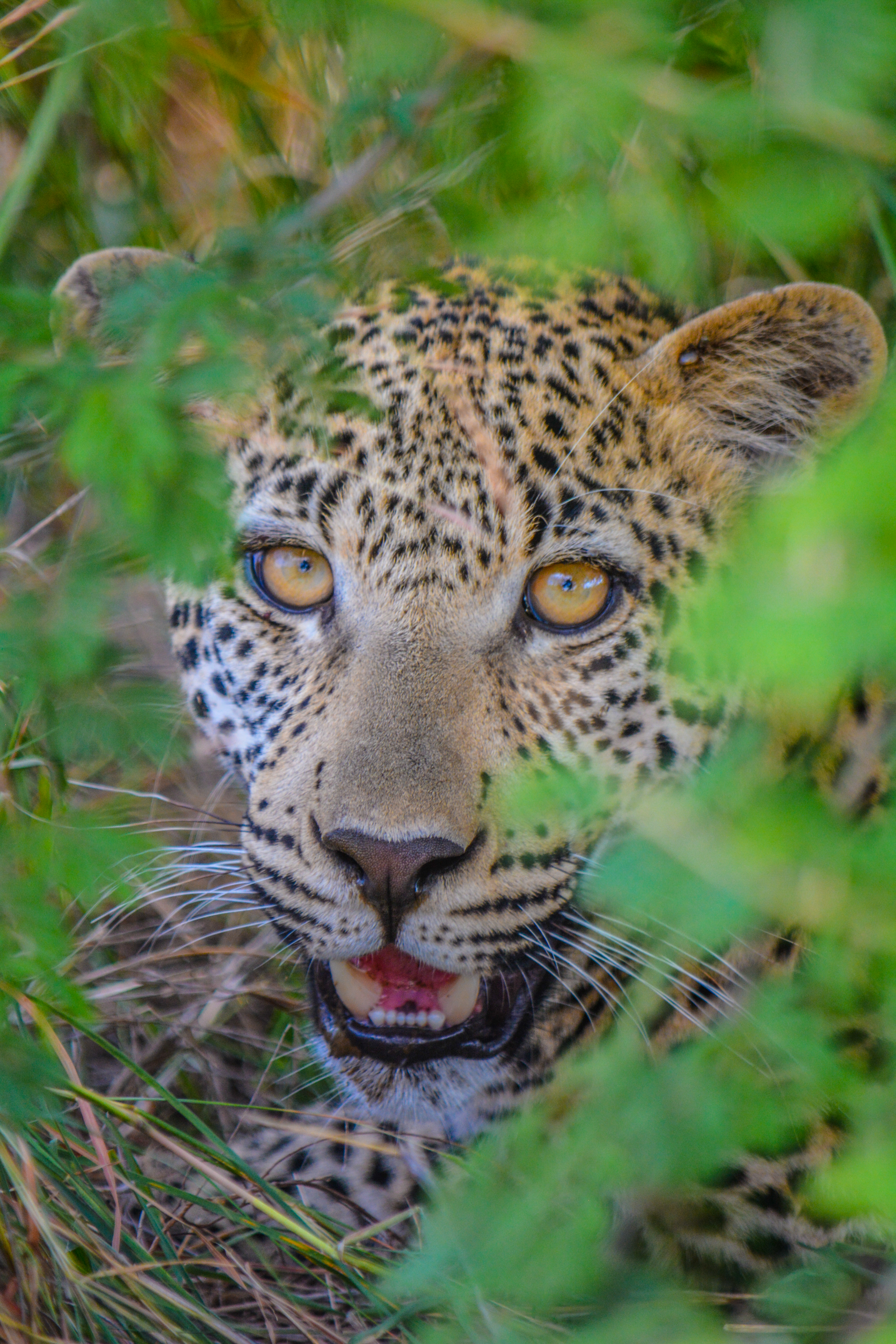 Lady Leopard in South Africa